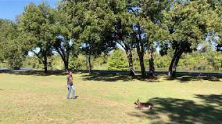 Training Archer the GSD in Dallas