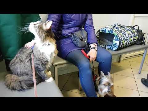 Поход кота Мурлока к ветеринару