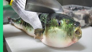 Video Eating Japan's POISONOUS PufferFish!!! ALMOST DIED!!! *Ambulance* MP3, 3GP, MP4, WEBM, AVI, FLV Mei 2019