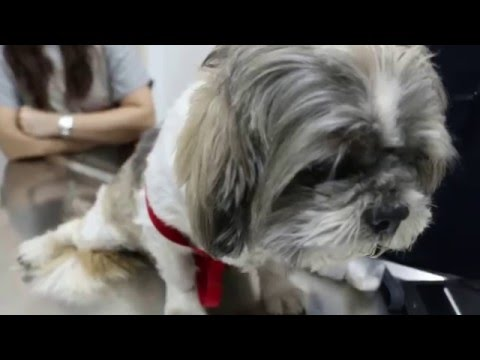 X-ray evidence of congestive heart failure in the old Shih Tzu  Pt 2