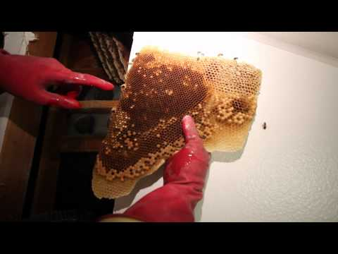 Removing And Saving 50,000 Bees From Inside Walls