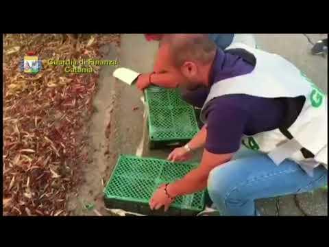 La liberazione dei cardellini sequestrati dalla finanza, il video