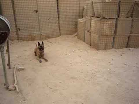 Military K9 got Shoes to Protect her Paws. Her Reaction is Too Funny!