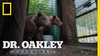 Orphaned Bear Cubs Get a Second Chance | Dr. Oakley, Yukon Vet by Nat Geo WILD