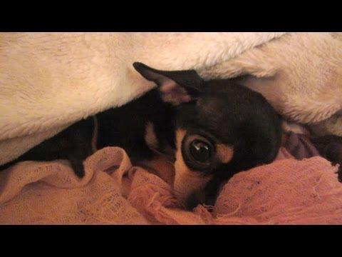 Il mio Chihuahua russa più di me