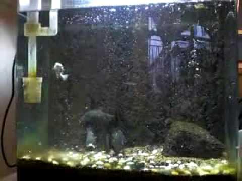 瘋狂食人魚搶食金魚,看得心驚驚!
