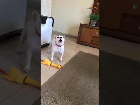 Koira painaa tassullaan vinkulelua ja aloittaa ulvomisen