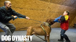 Hulk 'Attacks' 6-Year-Old Pit Bull Trainer | DOG DYNASTY by Barcroft Animals