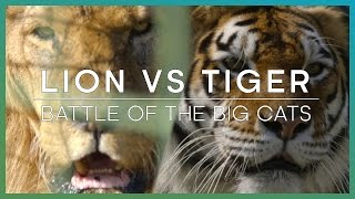 LION vs TIGER: Battle Of The Big Cats - BBC Earth Unplugged full download video download mp3 download music download