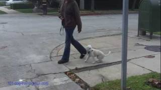 Training TerriPoo Poodle Terrier To Walk On A Loose Leash