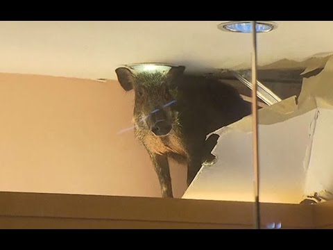 A Wild Boar Crashes Through The Ceiling at a Shopping Center