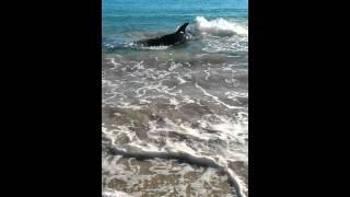 White Beach Australia  City pictures : White Pointer Shark swims onto Coronation beach Geraldton, Western Australia. Choked on sea lion.
