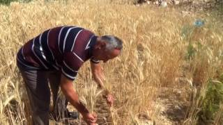 """Kahramanmaraş'ta hibrit tohuma savaş açan çiftçi Mustafa Uludağ, organik sebze meyve tohumu koleksiyonu yaptı. Geçimini çiftçilik ile sağlayan ve tarımsal alanda birçok araştırma yapan Uludağ, insanların genetiği ile oynanmış tohumlardan ve bu tohumlardan çıkan ürünlerden uzak durmasını istiyor. 10 yıldır 50 farklı organik meyve ve sebzenin tohumlarından koleksiyon yapan Uludağ, """"Ben her yıl gidiyorum tohumcudan tohum alıyorum. Maydanoz tohumu alıyorum, fasulye tohumu, karpuz tohumu ya da salatalık tohumu alıyorum. Ekiyorum çıkmıyor, niye çıkmaz bu? Bu tohumların genleri ile oynanıyor. Sen bir kere alıyorsun paketi ile ekiyorsun, o sene ürünü alıyorsun ve bir daha ekemiyorsun"""" dedi. Bu nedenle Anadolu'daki organik ürünlerin tohumlarını toplamak için çeşitli illerde, tanıdığı bütün çiftçiler ile temasa geçtiğini belirten Ulurağ, """"Başlarda fasulye çeşitlerine merak saldım, babamda çok eski bir çiftçi onun sakladığı 40-50 yıllık fasulye tohumlarını buldum. Birer avuç getirip bu şekilde koleksiyonuma ekledim. Bundan 30 yıl sonra, 50 yıl sonra belki bu tohumları bulamayacaklar, ama ben çocuklarıma kendi torunuma, evladıma, kim varsa onlara vasiyetimi yapıyorum. Bu tohumlara sahip çıkın diyorum. Bunlardan üretin ve tohumunuzu mutlak suretle ayıklayın diyorum"""" şeklinde konuştu. ============================Türkiye Gazetesi YouTube Kanalına Abone Olmak İçin:► http://bit.ly/Turkiye-GazetesiTürkiye Gazetesi Resmi Web Sitesi► http://www.turkiyegazetesi.com.trTürkiye Gazetesi Sosyal Medya Adresleri► https://facebook.com/turkiyegazetesi► https://twitter.com/turkiyegazetesi► https://plus.google.com/+turkiyegazetesi► https://instagram.com/turkiyegazetesicomtrTürkiye Gazetesi Haber Akışı► http://www.turkiyegazetesi.com.tr/rss/rss.xml"""