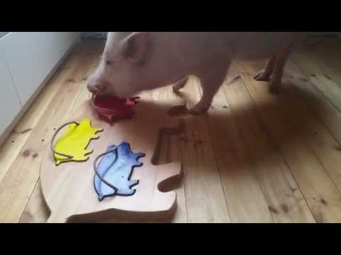 Anteprima Video Guardate che genio è questo maialino domestico... incredibile cosa riesce a fare