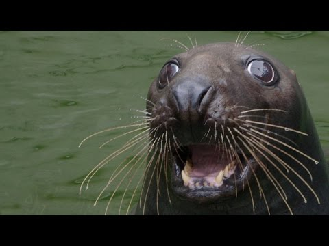 What Gives a Seal Perfect Underwater Vision?