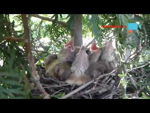 hnízdo-ptáčata sojky v přírodě