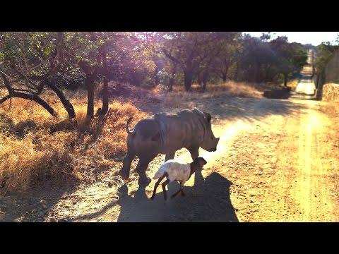 maly-nosorozec-bawi-sie-z-owieczka