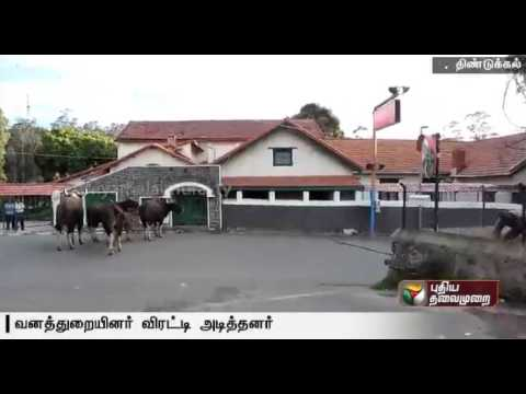 Bisons-roaming-in-the-residential-area-chased-into-the-forest-area-by-forest-officials-at-Kodaikanal