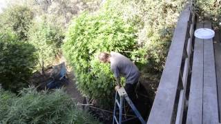 2017 outdoor grow huge plants by Emerald Coast 420