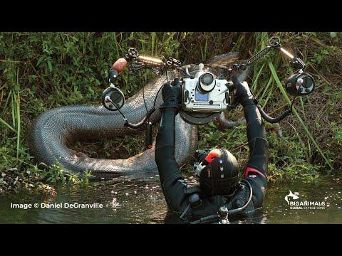 Anacondas in Brazil Adventure -  BigAnimals Global Expeditions
