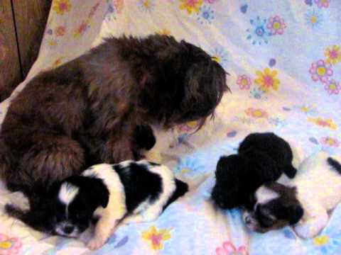 Cute shorkie puppies with their mom