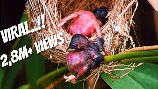 Download Video Cuckoo: Burung Rakus dan Serakah Yang Menjadi Mimpi Buruk Semua Ibu MP3 3GP MP4