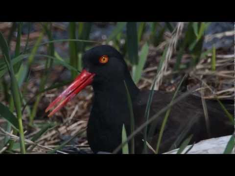 Icy Bay Camping How to - In June, 2012, I was camped on the shoreline of Icy Bay in Prince William Sound, Alaska. There was a Black Oystercatcher nest about 50 yards from my tent, at...