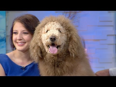 Labradoodle Dog Mistaken for Lion in Virginia, Prompts Flood of 911 Calls