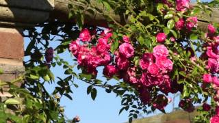 #963 Die Englische Ramblerrose Rosa Minnehaha