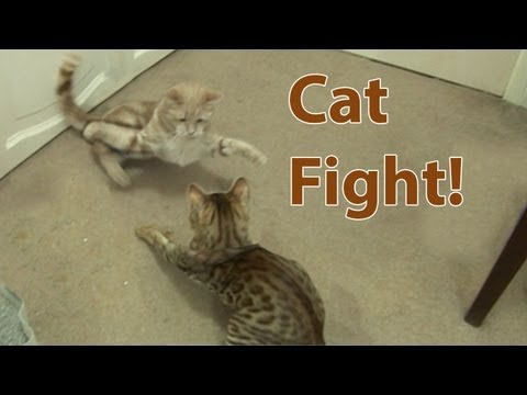 Cat Fight! Bengal Kitten introduced to Adult Cat Part3 (видео)