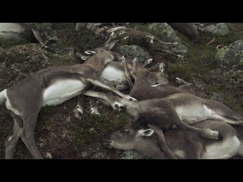 Неслыханный случай. Что убило сотни оленей в Норвегии