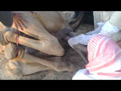 camel giving birth with help
