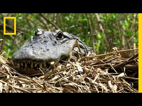 Alligator Moms Are Nature's Helicopter Parents | National Geographic