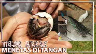 Video Telor Merak, Menetas di Tangan..! MP3, 3GP, MP4, WEBM, AVI, FLV Januari 2019