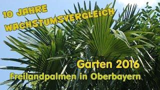 Freilandpalmen in Oberbayern - 10 Jahre ausgepflanzte Palmen - Wachstumsvergleich ! Video