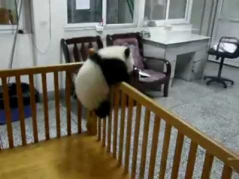 Cute Baby Panda Escaping