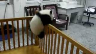 これはカワイすぎ! 何度も脱走を企てる子パンダからもう目が離せない!