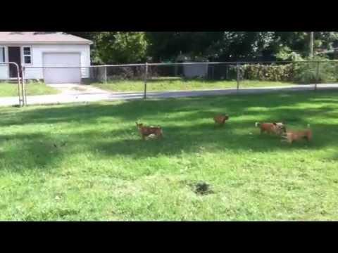 Cute Deer Chihuahua Face Owns Reno