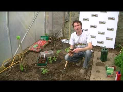 how to replant cucumbers