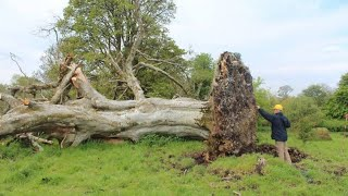 Video A Gale Uprooted This Tree – And Scientists Discovered Something Shocking Beneath It MP3, 3GP, MP4, WEBM, AVI, FLV November 2018