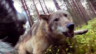 Video Vargar attackerar jämthundstiken Klara (wolves attack hunting dog) MP3, 3GP, MP4, WEBM, AVI, FLV Juni 2017
