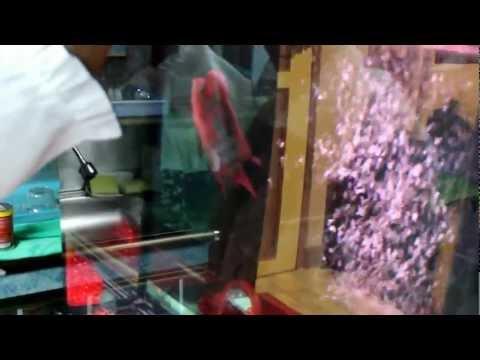 การฝึกให้อาหารปลาหมอสี