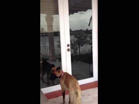Clever dog learns how to open backyard door