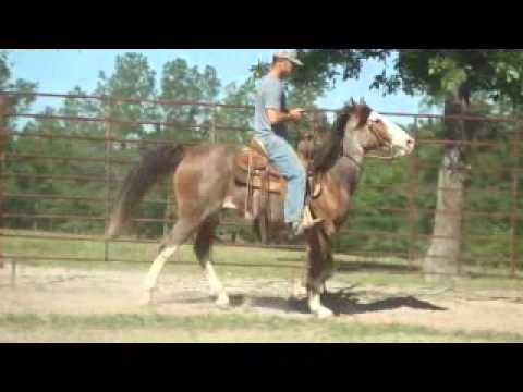 0 Roans Hillbilly, 12 year old Gelding, Gaited, Red Roan Paint, Trail Horse 