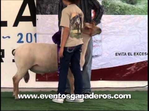 BORREGOS CHAROLAIS Califiacion en Cholula Puebla Mexico 2012.wmv
