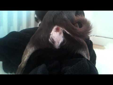 chihuahua funny Tyson farts
