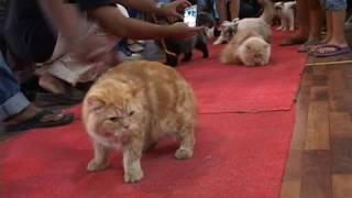 Video Kontes Kucing Cantik di Medan MP3, 3GP, MP4, WEBM, AVI, FLV Juni 2018
