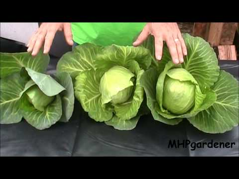 Hydroponic Cabbage - Yes You Can !