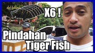 Video PINDAHAN TIGER FISH KE TEMPAT BARU MP3, 3GP, MP4, WEBM, AVI, FLV April 2019