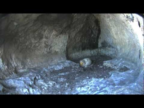 First egg in the Egyptian Vultures's nest under video observation